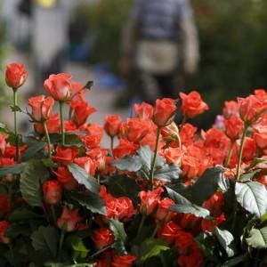 dutch-flowers